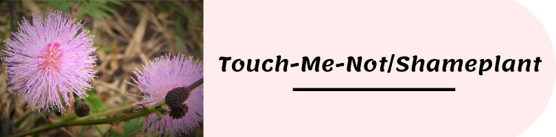 Flower Name Picture Touch-Me-Not/Shameplant